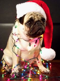 favorite 25 Christmas card pugs who want to wish you a merry Christmas . Pug Christmas, Christmas Animals, Christmas Lights, Christmas Photos, Winter Christmas, Christmas Cards, Christmas Ornaments, Pugs And Kisses, Pug Pictures