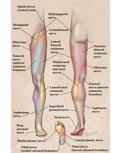 Nerve Entrapment Syndromes Of The Elbow, Forearm, And Wrist Proximal aspect of the arm. At the midarm level, the nerve pierces the medial . Muscle Anatomy, Body Anatomy, Migraine, Femoral Nerve, Peripheral Nerve, Home Remedies For Arthritis, Cabinet Medical, Leg Pain, Thyroid Problems
