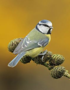 500px / Autumn Blue Tit by Lee Fisher