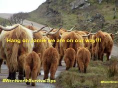 Hang on Jamie...the cows are coming to the rescue #OutlanderCAN