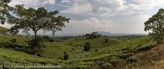 Panorama from one Tea Plantation in Uganda