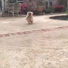 Scrappy the dachshund in teddy bear costume