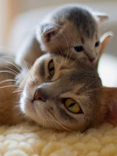 A momma cat and her baby kitten cuddling. So precious and cute. Have a good evening CatLovers! ~Me