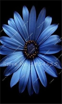 100 Pcs/bag Rare African Blue Eyed Daisy Seeds Flower Heirloom seeds for Flowering Plants DIY Home Garden Decor