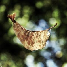 An autumn leaf trapped by a spider's web in the woods near my house!