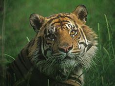 Portrait of a Predator, Tiger