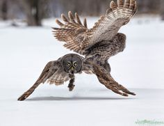 """500px / You snooze you lose. by Vince Maidens """"A pair of Great Grey Owls squabbling over a meal."""""""