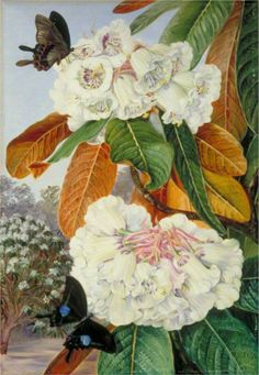 Marianne North.. Rhododendron Falconeri from the Mountains of North India, 1878
