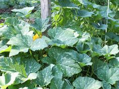 Squash leaves can be susceptible to powdery mildew Spray mixture 1 part milk to 2 part water once a week to prevent powdery mildew