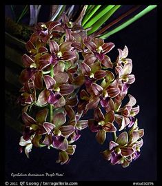 Cymbidium | Picture/Photo: Cymbidium devonianum. A species orchid. A hybrid orchid