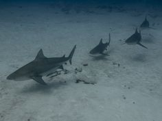 Diving with Bullsharks in Playa del Carmen a must do in your Vacation Sharks, Diving, Whale, Fighter Jets, Vacation, Animals, Playa Del Carmen, Whales, Vacations
