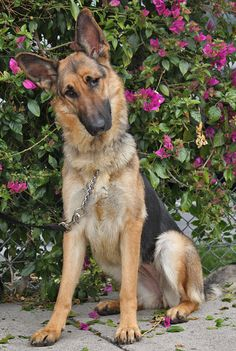 Lily von Lucka is a stunning 10 month old German Shepherd. Looks like she was born with only one good eye but it certainly doesn't seem to bother this happy girl.  Westside German Shepherd Rescue of Los Angeles