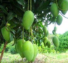 Sweet variety Philippine Mango fruit trees from Zambales farm.