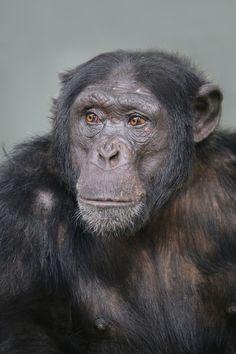 Chimpanzee by Edwin Butter - Photo 138826653 - 500px