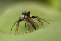 Salticidae - Zebraplatys bulbus (female)
