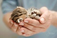 These pretty cats will bring you joy. Cats are wonderful friends. Kittens And Puppies, Cute Cats And Kittens, Kittens Cutest, Cute Kitten Pics, Ragdoll Kittens, Tabby Cats, Funny Kittens, Bengal Cats, Pretty Cats