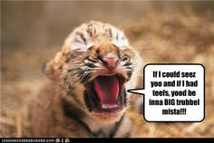 funny tiger pictures with captions Funny Animal Images, Cute Animals With Funny Captions, Animal Captions, Tiger Pictures, Funny Animal Pictures, Animal Pics, Kittens Cutest, Cute Cats, Pretty Cats