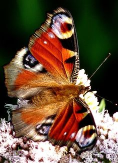 Peacock butterfly • photo: Dieffi on deviantart