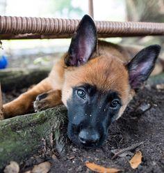Zoom Dog Photography Belgian Malinois Puppy Dog Doggies, Pet Dogs, Dog Cat, Pets, Belgian Shepherd, Shepherd Dog, Dog Photos, Dog Pictures, Malinois Shepherd