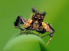 araignée partia