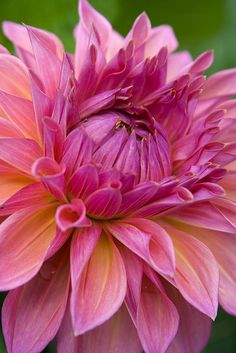 Pink dahlia -- layers by layers of pink/fuschia petals.. it reminds me of human.. we appear soft and pure in the outside, but getting darker at the inside...