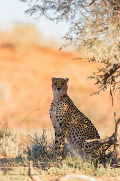 A Cheetah Taking Advantage of the Shade. (Photo by Iris Braun). Jungle Animals, Animals And Pets, Cute Animals, African Animals, African Safari, Big Cats, Cool Cats, Big Cat Diary, Tiger Species