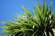 Cabbage Tree (Cordyline Australis), New Zealand Royalty Free Stock Photo New Zealand Landscape, Tree Images, Annual Plants, Image Now, Cabbage, Royalty Free Stock Photos, Photography, Photograph, Fotografie
