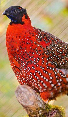 Crimson Horned Pheasant