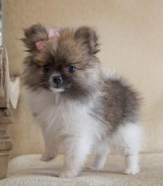 Teacup pomeranian, why did I never put bows like this in Roxy's fur?