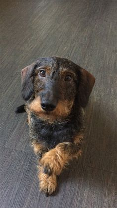 Doxie Puppies, Dachshund Breed, Baby Dachshund, Wire Haired Dachshund, Dogs And Puppies, Daschund, Doggies, Love Pet, I Love Dogs