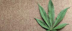 Cannabis: Die Droge, die nicht helfen darf Hanf Marihuana Drogen
