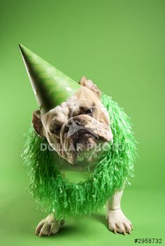 English bulldog in party hat