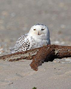 Snowy Owl   Flickr - Photo Sharing!