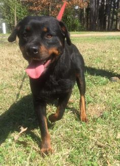Raven Bailey RM is a female purebred Rottweiler who is available at Eleventh Hour Rescue, Rockaway,MY.