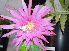 Epiphyllum hybrid 'Beauty Queen'