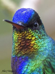 Fiery-throated Hummingbird - colors are so amazing!!  portrait by Alex Vargas, Costa Rica 2008