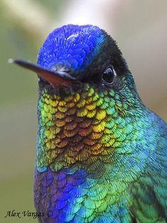 hummingbirds of ecuador - Buscar con Google