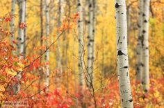 ***Birch trees in the fall (Washington) by Aaron Reed / 500px