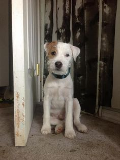 Diesel the Parson Jack Russell Terrier.