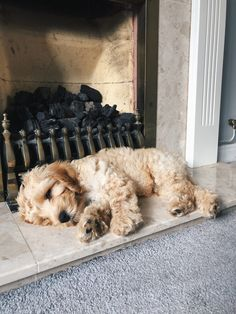 Cute Little Puppies, Cute Little Animals, Cute Dogs And Puppies, Cute Babies, Doggies, Cockapoo Puppies, Cavapoo, Labradoodles, Goldendoodles