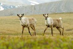 10 Animals of North America: Caribou