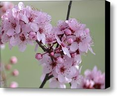 Pink Flowering Tree Flowers Stretched Canvas Print / Canvas Art By Patricia S