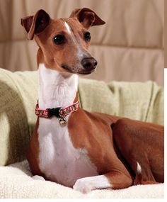 italian greyhound | Italian Greyhound