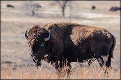 Wichita Mountains Oklahoma Please check me out at Gary P Kurns Photography Wichita Mountains Oklahoma, September 2, Bison, Wildlife, Animals, Animales, Animaux, Animal, Animais