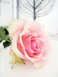 The rose has told In one simplicity That never life Relinquishes a bloom But to bestow An ancient confidence. ~~ Nathalia Crane, Venus Invisible and Other Poems ~~ ♥ X ღɱɧღ
