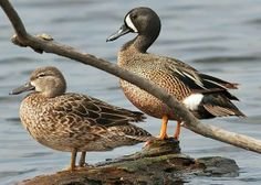 Blue Winged Teal pair Blue Winged Teal, Green Wing, Blue Wings, Duck Hunting, Exotic Birds, Animals Beautiful, Wildlife, Woodcarving, Ducks