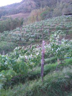 El viñedo en floración