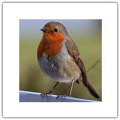 #Greetings card birthday / #blank notelet - robin red breast bird #wildlife natur,  View more on the LINK: http://www.zeppy.io/product/gb/2/162054896418/
