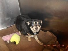 Meet Bella, a Petfinder adoptable Chihuahua Dog | Defuniak Springs, FL | 03-04-15Bella #20440Chihuahua MixFemale/Black And TanPicked Up From: Marina Dr.Located In Kennel:...