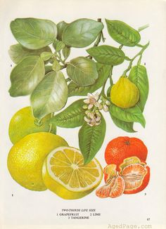 Grapefruit, Lime and Tangerine, Fruit Print, Botanical Illustration, Vintage Kitchen Decor, Wall Art